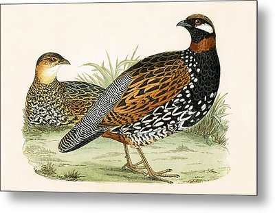 Francolin Metal Print by English School