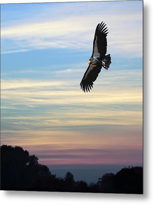 Free To Fly Again - California Condor Metal Print by Daniel Hagerman