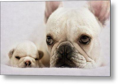 French Bulldog Metal Print by Copyright © Kerrie Tatarka