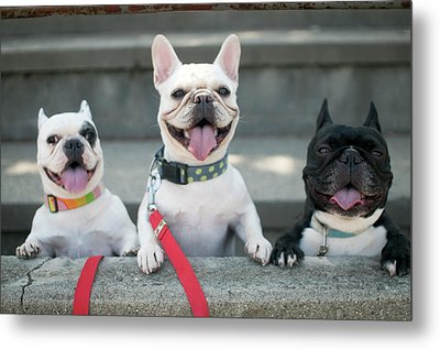 French Bulldogs Metal Print by Tokoro