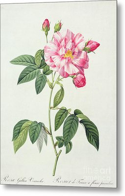 French Rose Metal Print