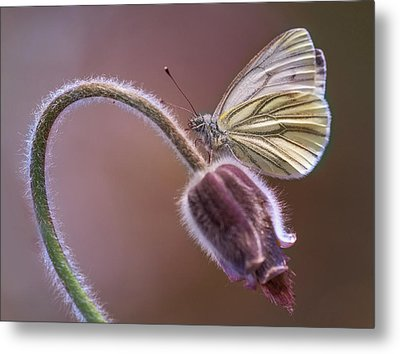 Fresh Pasque Flower And White Butterfly Metal Print by Jaroslaw Blaminsky