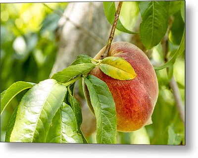 Fresh Peach Hanging In Orchard Metal Print by Teri Virbickis