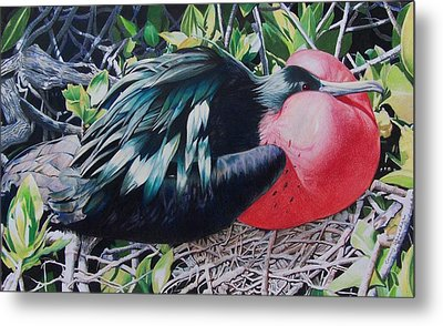 Frigate Bird  Metal Print