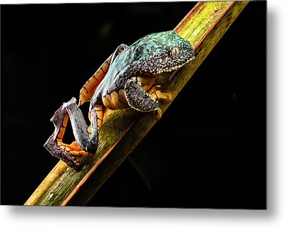 Fringe Tree Frog - Amazon Rain Forest Metal Print