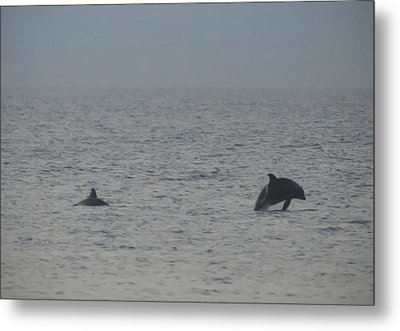 Frolicking Dolphins Metal Print by Bill Cannon