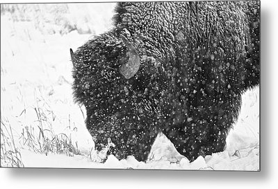 Frosted Bull Metal Print by Darren Cole Butcher