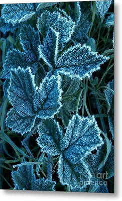 Metal Print featuring the photograph Frosty Ivy by Garnett  Jaeger
