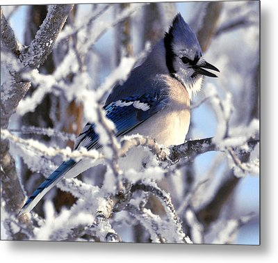 Frosty Morning Blue Jay Metal Print