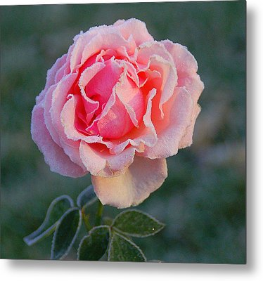 Frosty Rose Metal Print by Monica Lewis