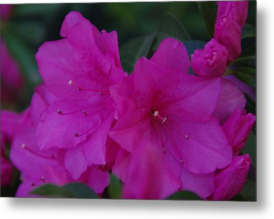 Metal Print featuring the photograph Fuchsia Azaleas by Robyn Stacey