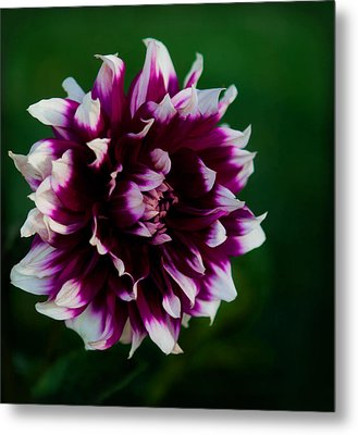 Metal Print featuring the photograph Fuffled Petals by Cherie Duran