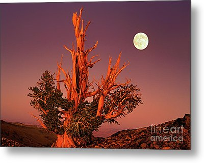 Full Moon Behind Ancient Bristlecone Pine White Mountains California Metal Print