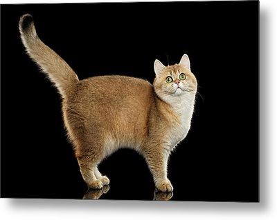 Funny British Cat Golden Color Of Fur Metal Print by Sergey Taran