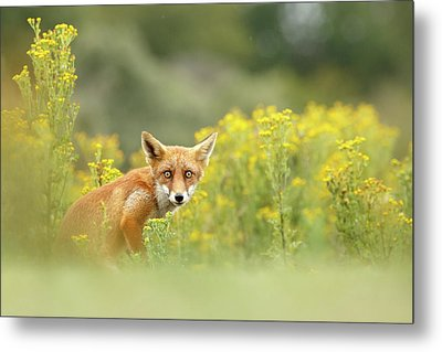 Funny Fox Face And A Field Of Flowers Metal Print by Roeselien Raimond