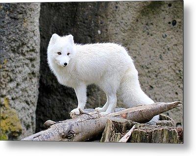Furry Arctic Fox  Metal Print by Athena Mckinzie