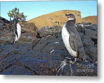 Galapagos Penguins Metal Print by Sami Sarkis