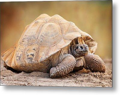 Galapagos Tortoise Side View Metal Print by Susan Schmitz