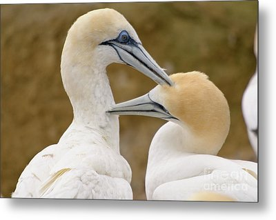 Metal Print featuring the photograph Gannet Pair 1 by Werner Padarin