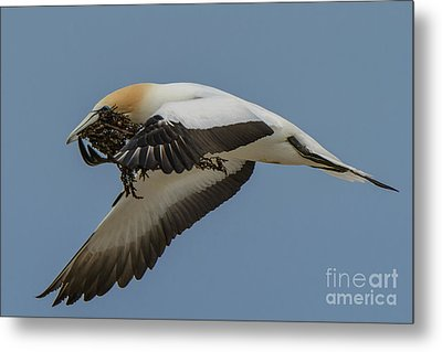 Metal Print featuring the photograph Gannets 1 by Werner Padarin