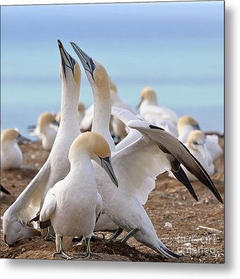 Metal Print featuring the photograph Gannets by Werner Padarin