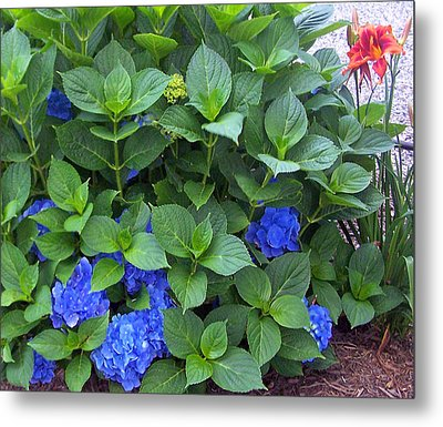 Garden Blues With A Touch Of Red Metal Print by Patricia Taylor