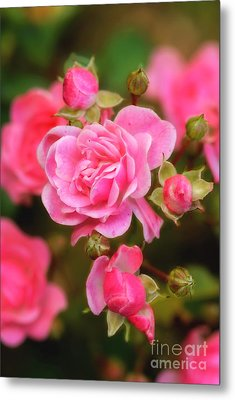 Metal Print featuring the photograph Garden Rose by Alana Ranney