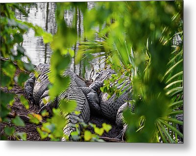 Gator Love Metal Print by Josy Cue