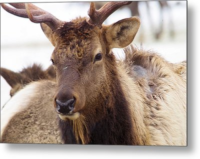 Metal Print featuring the photograph Gaze From A Bull Elk by Jeff Swan