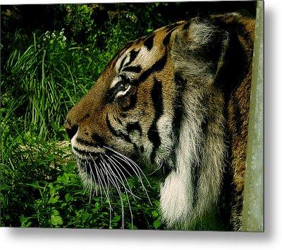 Gaze Of The Tiger Metal Print by Edan Chapman