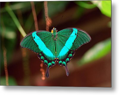 Geen Blue Butterfly Metal Print by Don  Wright