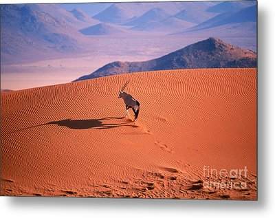Gemsbok Metal Print by Eric Hosking and Photo Researchers