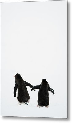 Gentoo Penguin (pygoscelis Papua) Metal Print