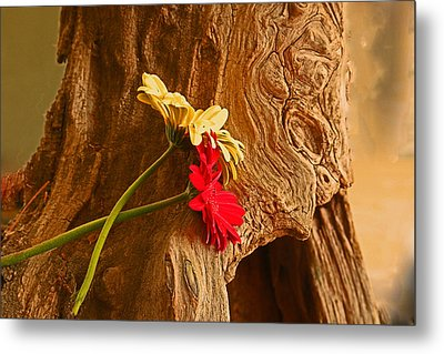 Gerber Daisy On Driftwod Metal Print