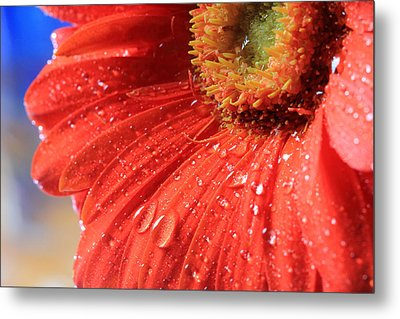 Gerbera Daisy After The Rain Metal Print by Angela Murdock
