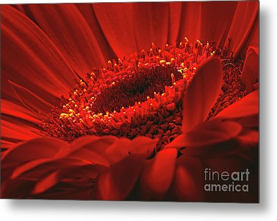 Metal Print featuring the photograph Gerbera Daisy In Red by Sharon Talson
