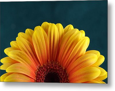 Gerbera Sunrise Metal Print by Michael Park