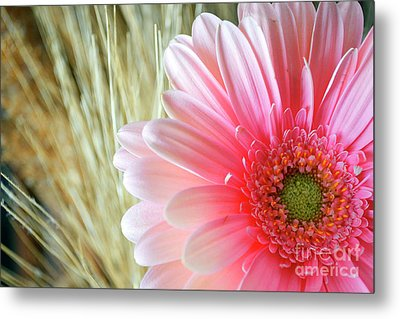 Metal Print featuring the photograph Gerberlicious by Traci Cottingham