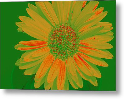 Metal Print featuring the photograph Gerbia Daisy Sabattier by Bill Barber