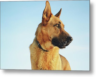 German Shepherd Metal Print by Cco