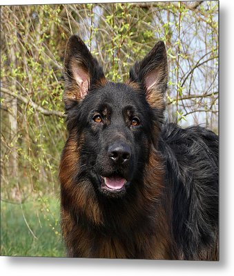 Metal Print featuring the photograph German Shepherd Close Up by Sandy Keeton