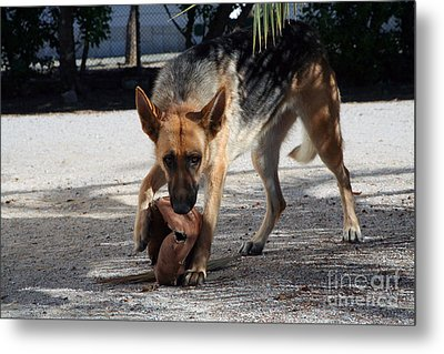 German Shepherd Playing Metal Print by Andre Goncalves