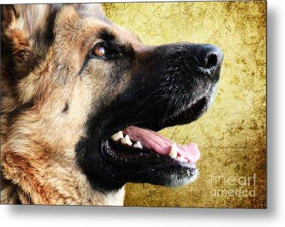 German Shepherd Portrait Metal Print by Nichola Denny