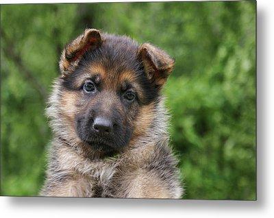 German Shepherd Puppy IIi Metal Print by Sandy Keeton