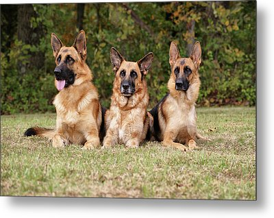 German Shepherds - Family Portrait Metal Print by Sandy Keeton