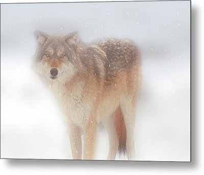 Ghost Wolf Metal Print by Greg Slocum