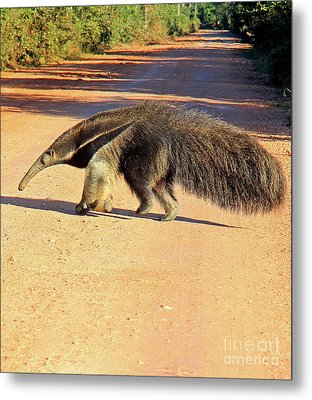 Giant Anteater Crosses The Transpantaneira Highway In Brazil Metal Print