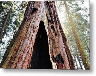Giant Forest Giant Sequoia Metal Print by Kyle Hanson