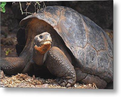 Giant Galapagos Tortoise Metal Print