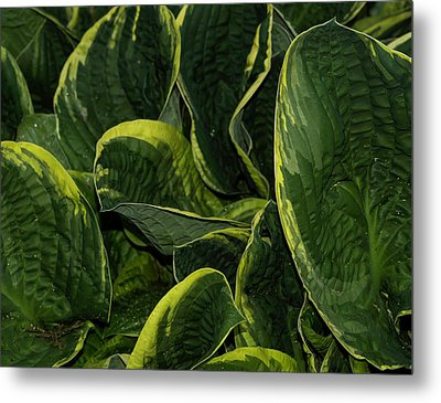 Giant Hosta Closeup Metal Print